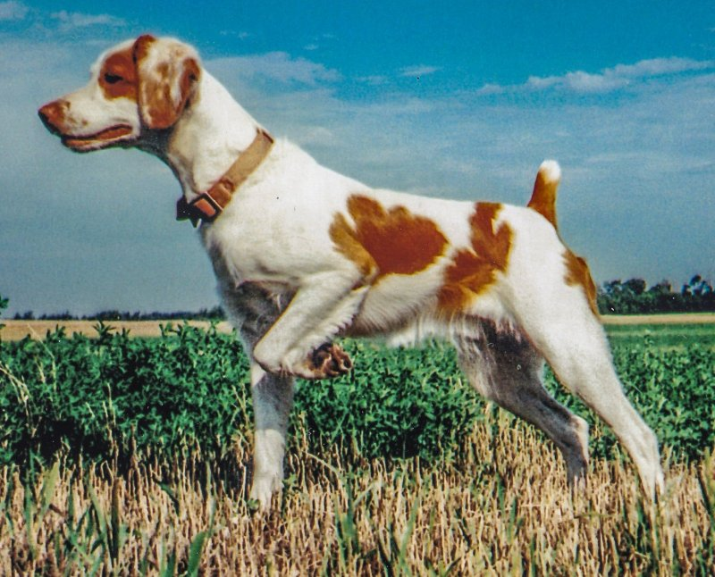 Brittany Field Trial Hall of Fame - Dog